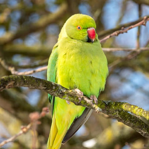 Parakeet in Hyde Park London