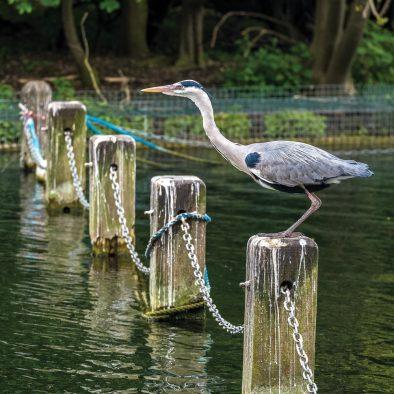 Heron Hyde Park London Photo Walks
