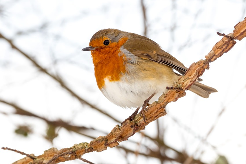 Robin in Hyde Park