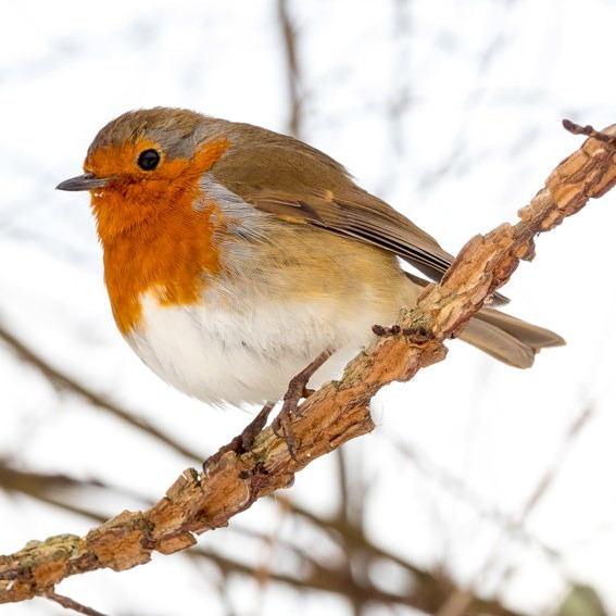 Robin red breast in Hyde Park